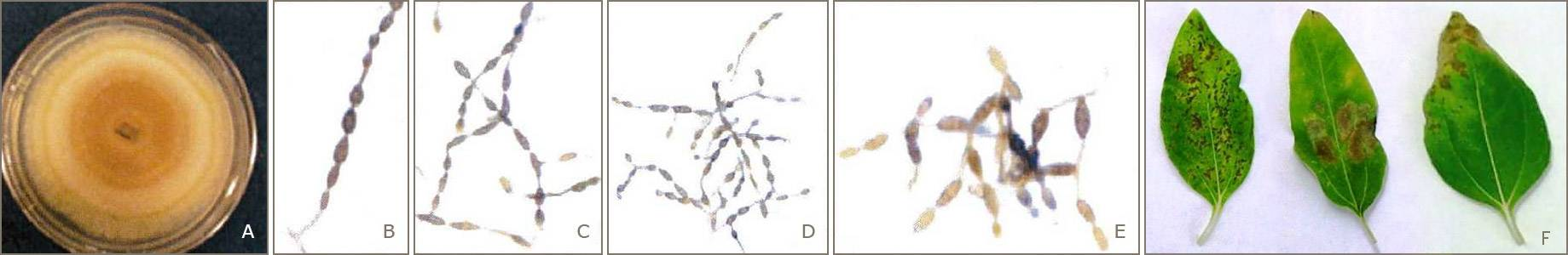Sporulation structures and leaf blight lesions of Alternaria species on sunflower