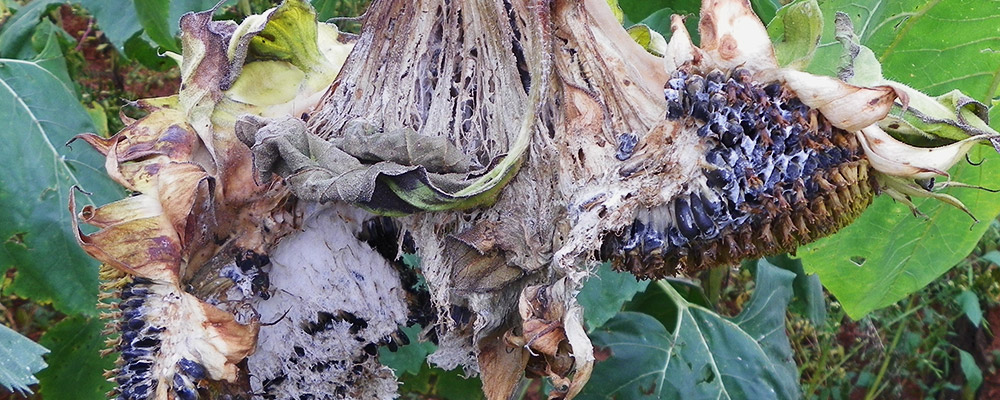 Sunflower diseases