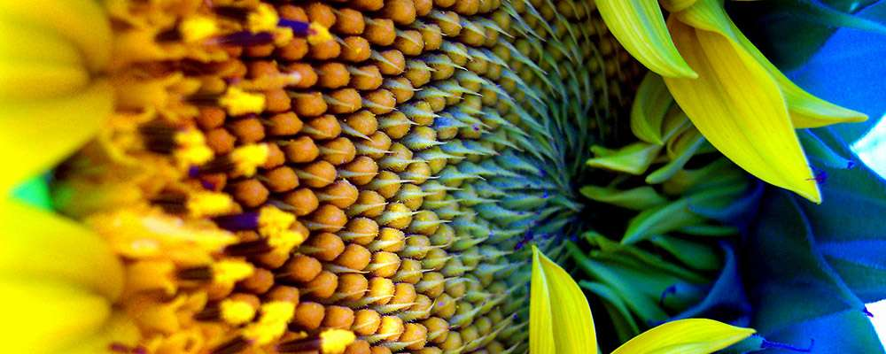 Sunflower head with blue shadows